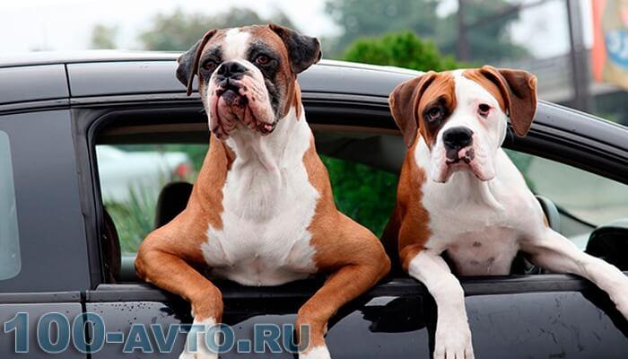 перевозка животных в автомобиле